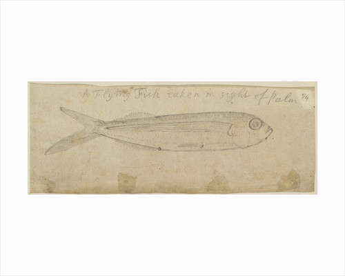 Flying fish by Edmond Halley