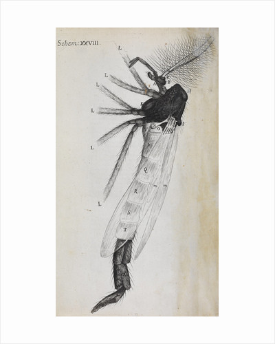 Microscopic views of a gnat by Robert Hooke