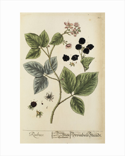 'Rubus' by Elizabeth Blackwell