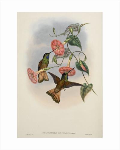 'Helianthea osculans' by William Matthew Hart