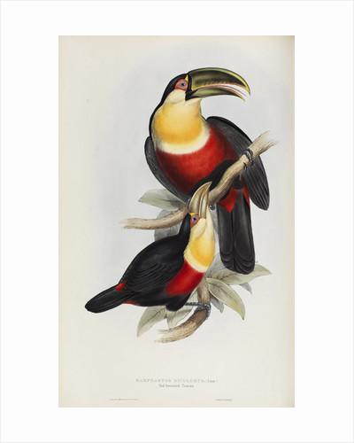 'Ramphastos dicolorus' by Elizabeth Gould
