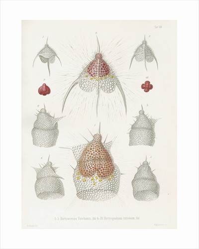 'Dictyoceras virchowii' and 'Dictyopodium trilobum' by W Wagenschieber