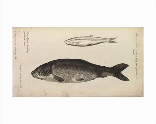 '..a Greyling' and 'carp' by Anonymous