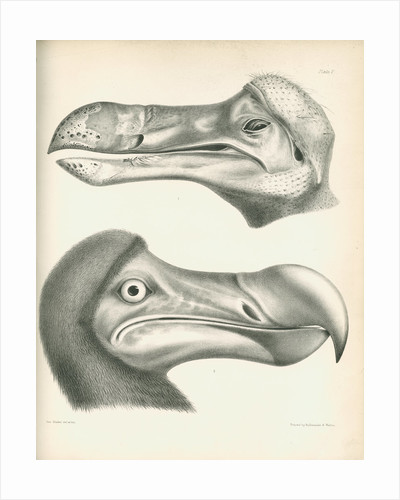 Two studies of a Dodo head by Joseph Dinkel