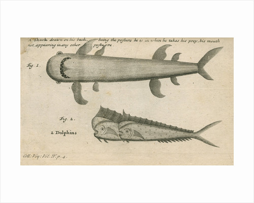 Marine life observed by William Funnell by Anonymous