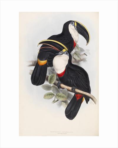 Culmenated Toucan by Edward Lear