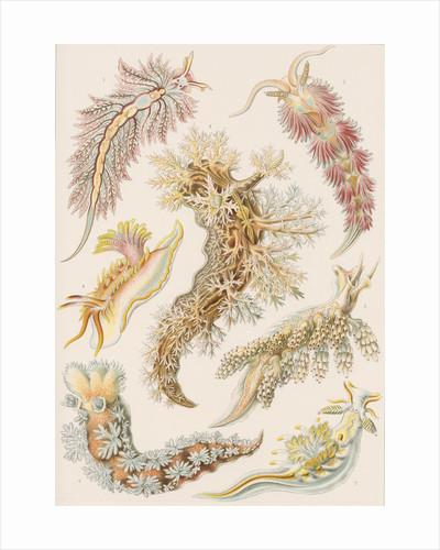 'Nudibranchia' [marine molluscs] by Adolf Giltsch