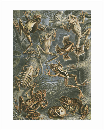 Batrachia [frogs and toads] by Adolf Giltsch