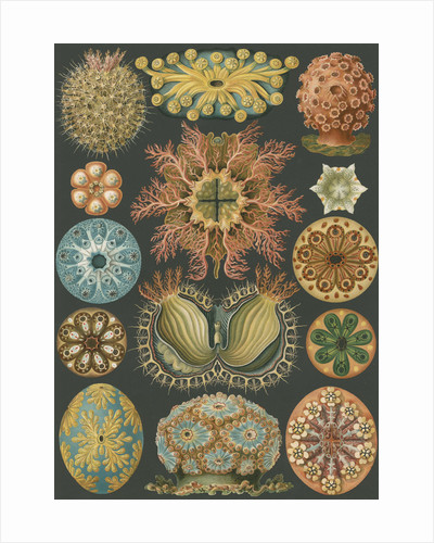 'Ascidiae' [sea squirts] by Adolf Giltsch