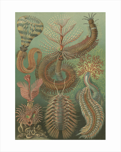 'Chaetopoda' [marine worms] by Adolf Giltsch