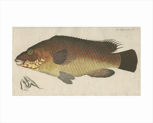 'La Carpe de Mer' [Wrasse] by Anonymous