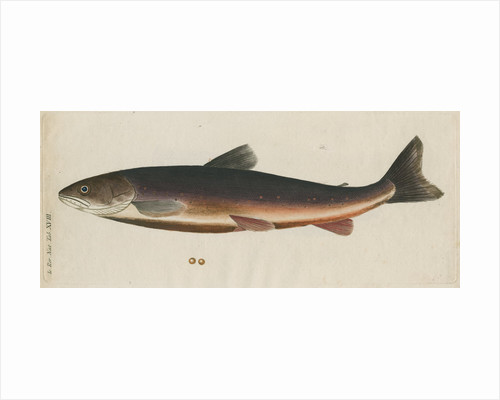 'L'Omble, La Roie, ou Salmomet des Alpes' [Arctic char] by Anonymous
