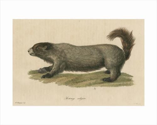 'Arctomys caligata' [Hoary marmot] by C E Weber