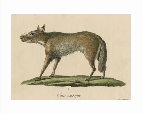 'Canis ochropus' [California valley coyote] by Friedrich Guimpel