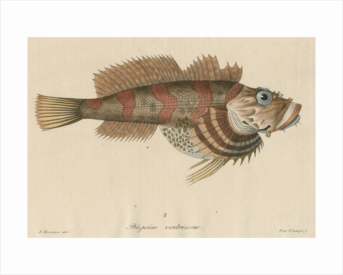 Blepsias ventricosus [Red Irish Lord fish] by Friedrich Guimpel
