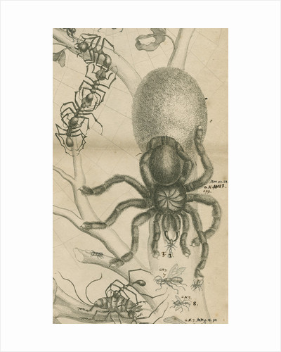 'Leaf cutter ants and spider' by Joseph Mulder