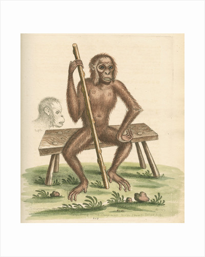 'The man of the woods' [Orangutan] by George Edwards