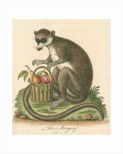 'The Mongooz' [Lemur] by George Edwards