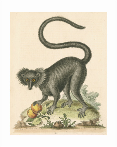 'The Black Maucauco' [Black lemur] by George Edwards