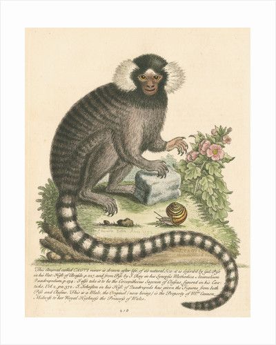'The Sanglin, or Cagui minor' [Common marmoset] by George Edwards