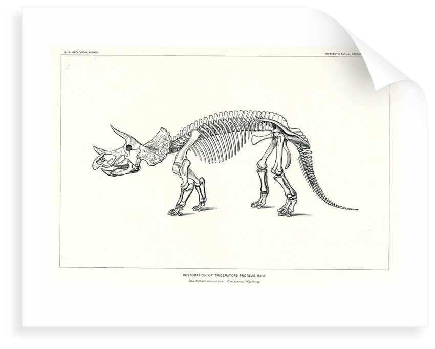 'Triceratops prorsus' by unknown
