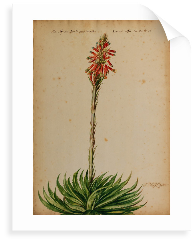 Aloe africana by Jacob van Huysum