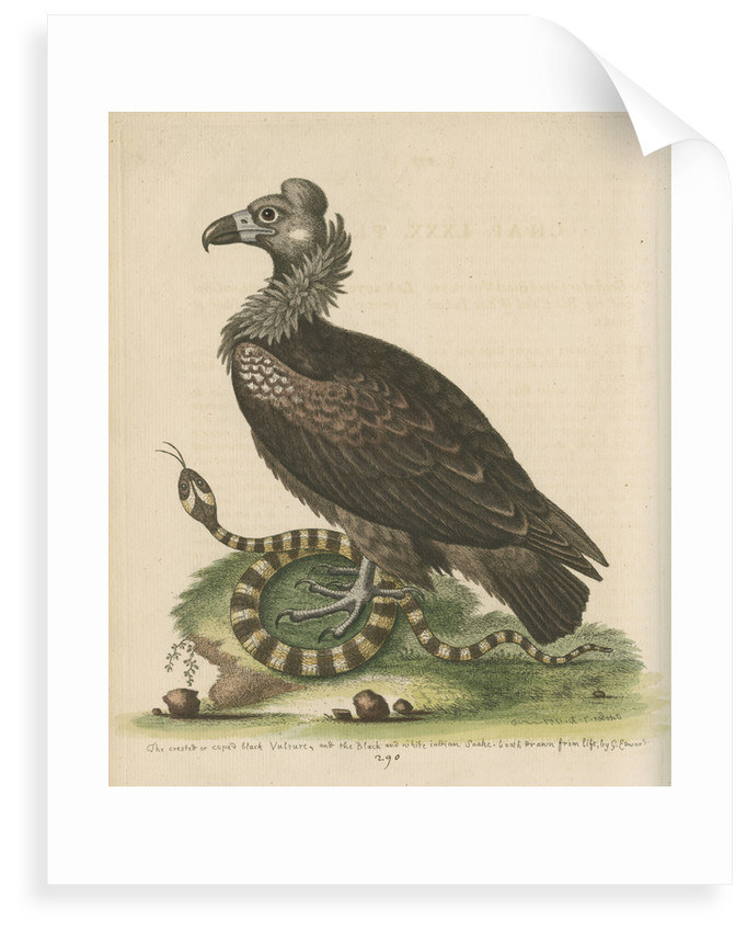'Crested or Coped Black Vulture, and the Black and White Indian Snake' by George Edwards