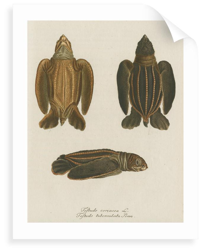 'Testudo coriacea' [Leatherback turtle] by Friedrich Wilhelm Wunder