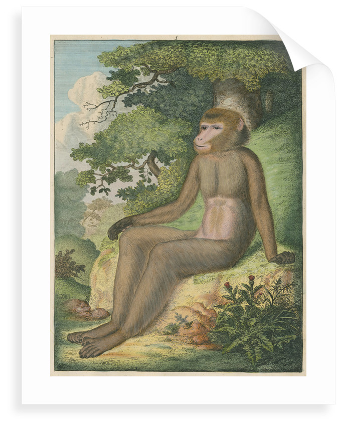 'The Barbary Ape' [Barbary macaque] by James Sowerby