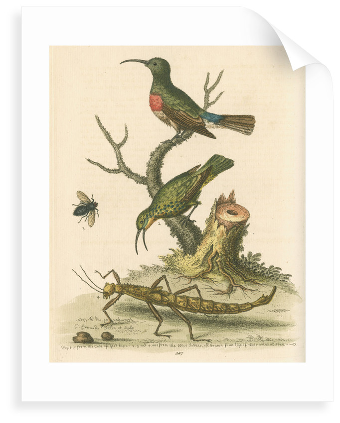 'The Red-breasted Green Creeper, and the Spotted Green Creeper, &c.' by George Edwards