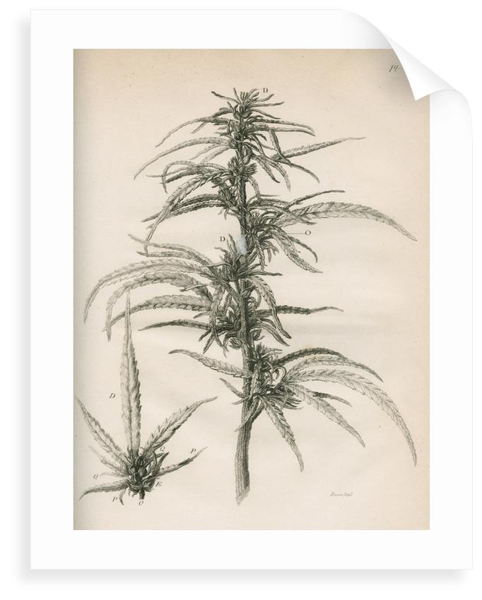 Female hemp plant by Richard Reeve