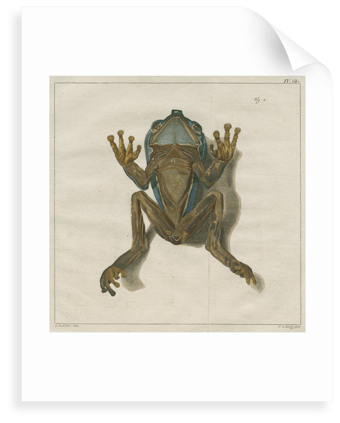Giant leaf frog by F de Bakker