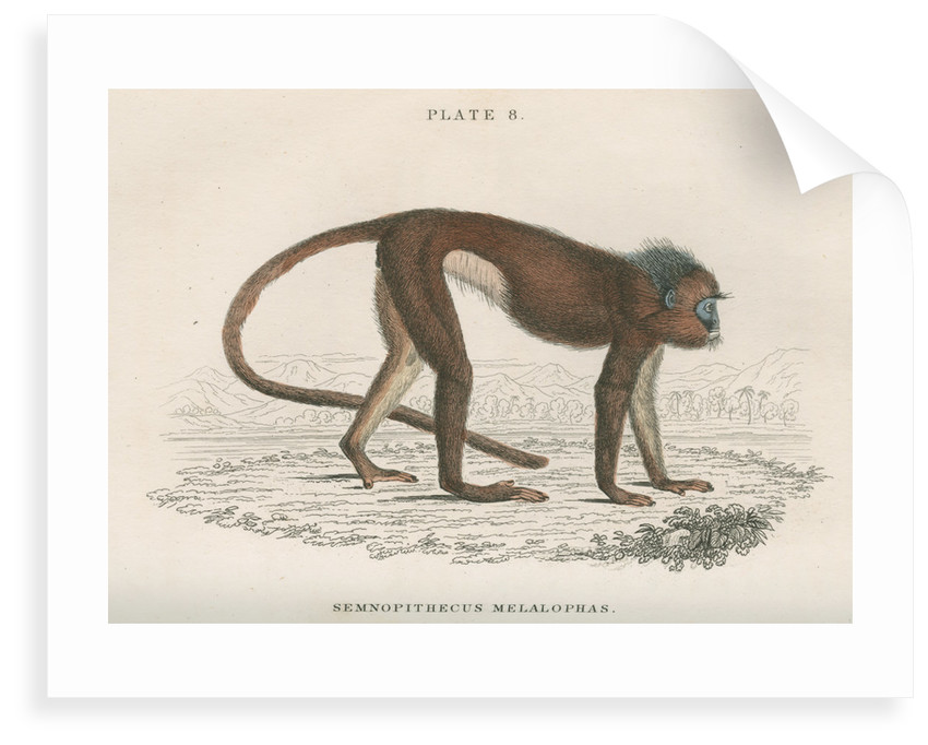 'Semnopithecus melalophas' [Mitred leaf monkey] by William Home Lizars