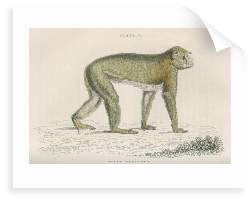 'Inuus sylvanus' [Barbary macaque] by William Home Lizars
