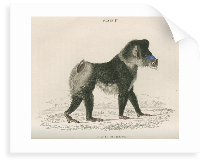 'Papio mormon' [Mandrill] by William Home Lizars