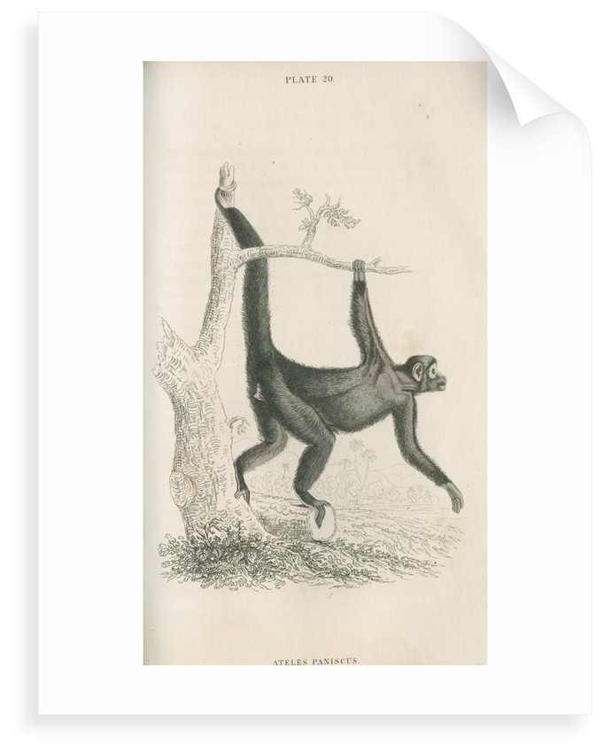 'Ateles paniscus' [Spider monkey] by William Home Lizars