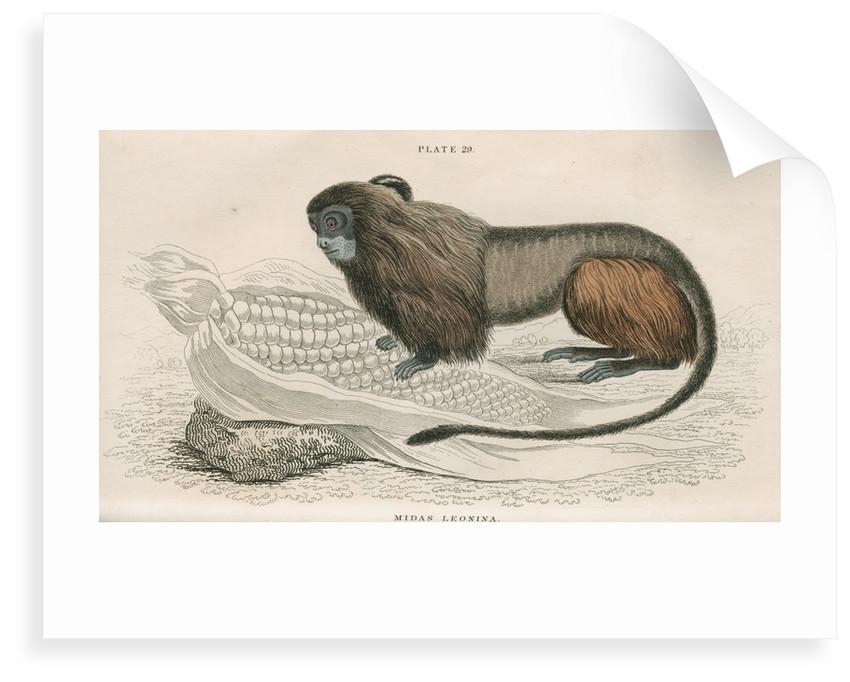 'Midas leonina' [Pygmy marmoset] by William Home Lizars
