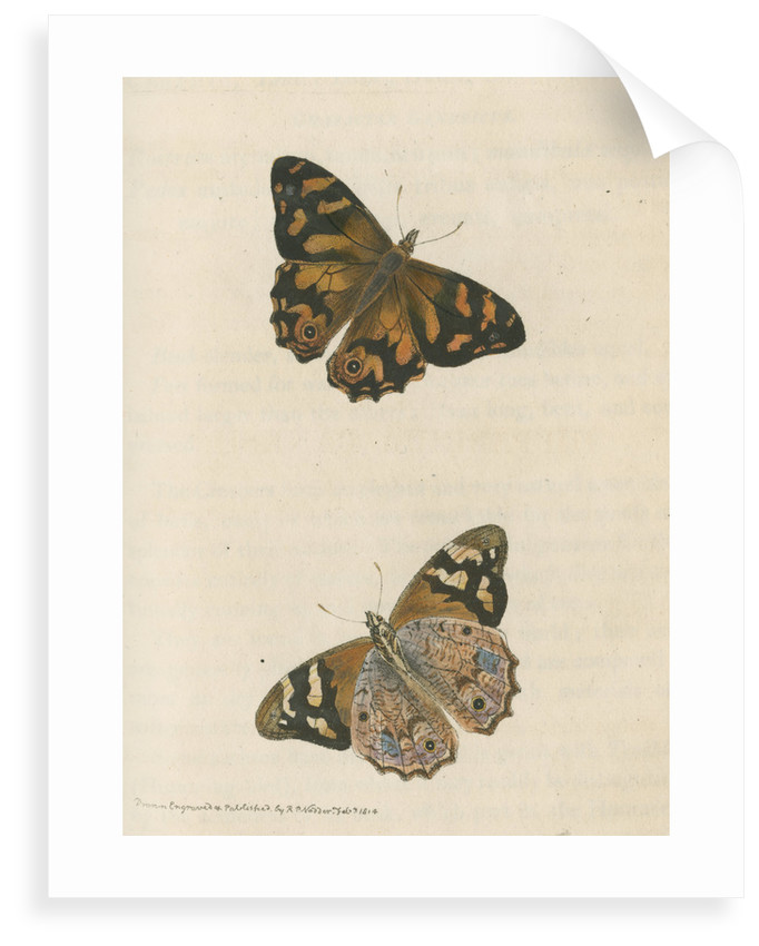 'Banksian hipparchia' [Banks's brown butterfly] by Richard Polydore Nodder