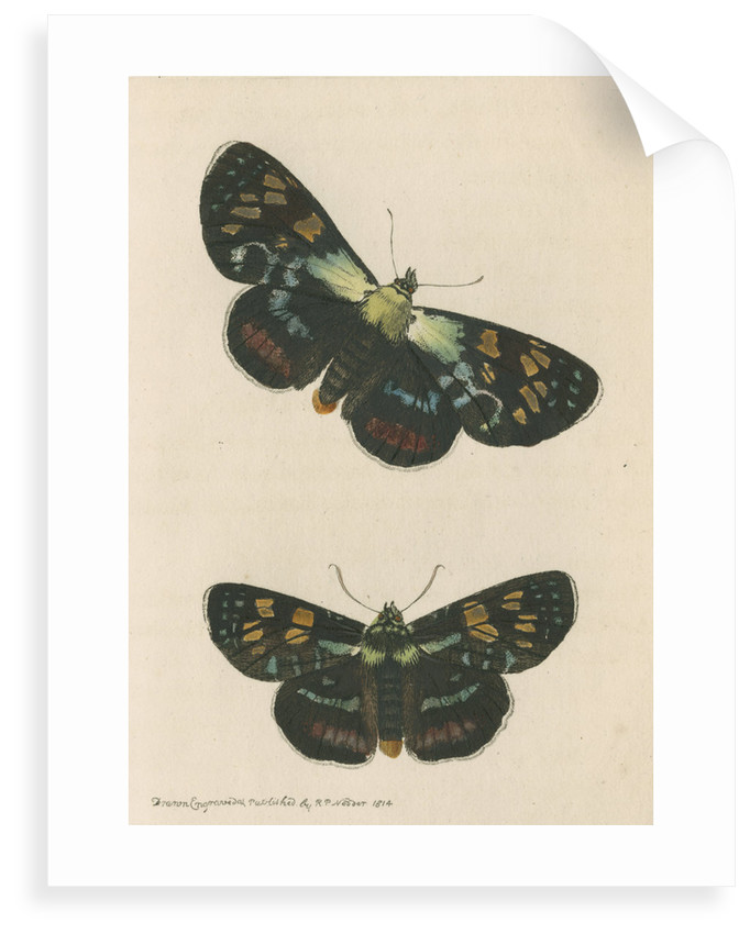'Painted agarista' [Joseph's coat moth] by Richard Polydore Nodder
