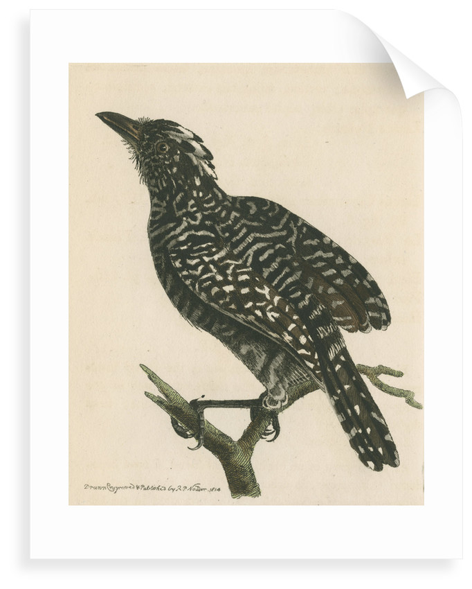 'Pied shrike' [Barred antshrike] by Richard Polydore Nodder