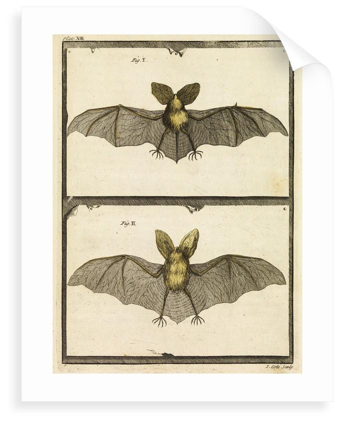 A specimen of bat by T Cole