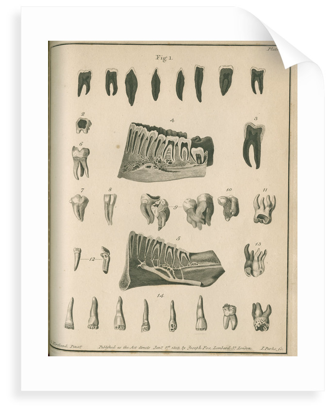 Cross-sections of the teeth and lower jaw by Parks