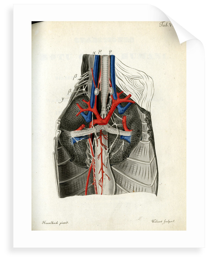Open Chest Cavity Posters Prints By Walwert