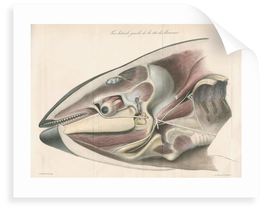 Dissected head of a porpoise by Antoine Toussaint de Chazal