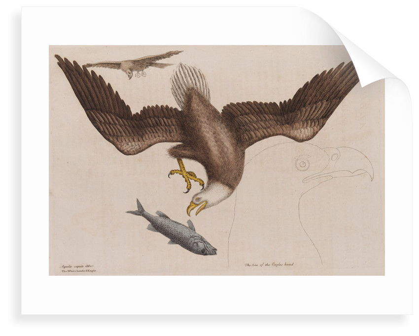 The bald eagle by Mark Catesby