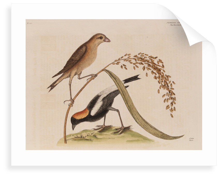 The 'rice-bird' by Mark Catesby