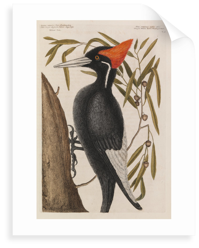 The 'largest white-bill wood-pecker' and the 'willow oak' by Mark Catesby