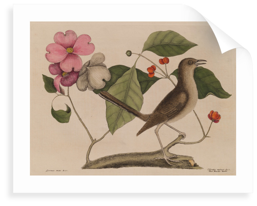 The 'mock-bird' and the dogwood tree by Mark Catesby