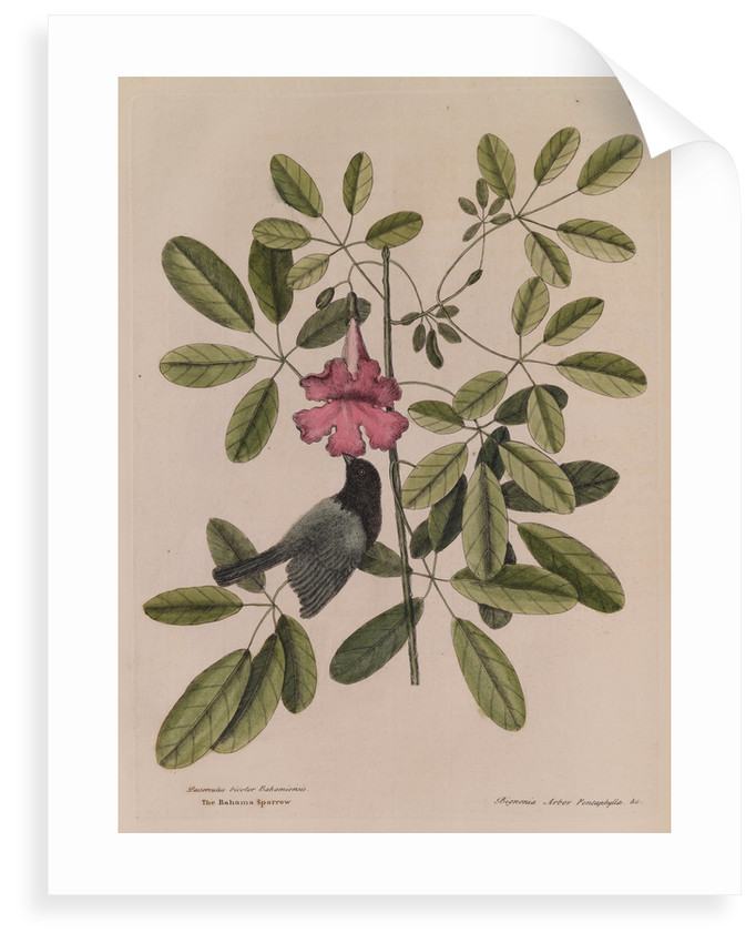 The 'Bahama sparrow' and the 'bignonia' by Mark Catesby
