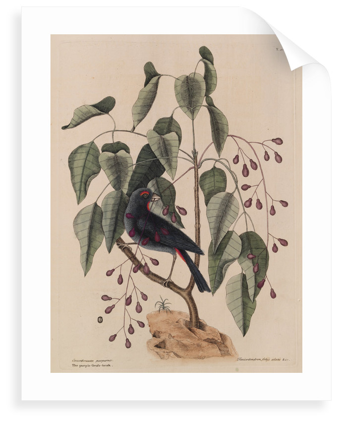 The 'purple gross-beak' and the 'poison-wood' by Mark Catesby